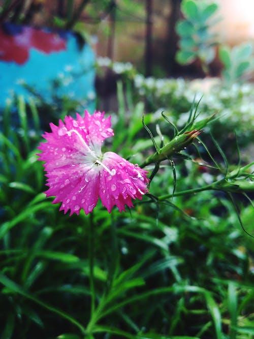 Free stock photo of flor, Folha verde, gota de água, Rosa vermelha