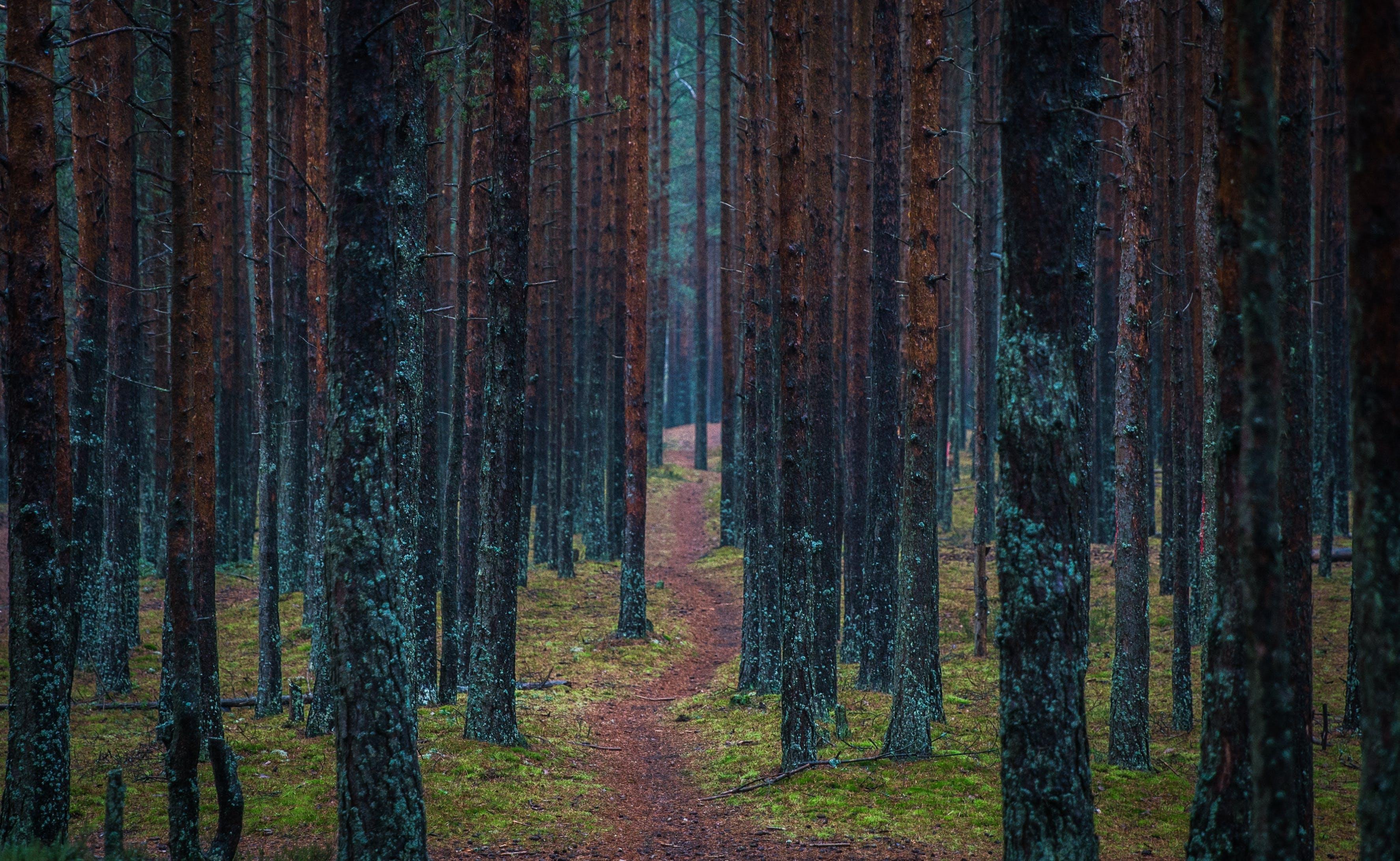 Road Between Tall Tress Photo