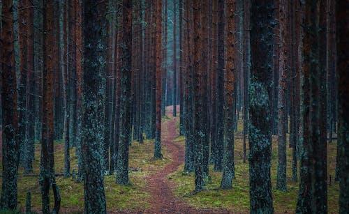 Kostnadsfri bild av barrträd, färg, gräs, gryning