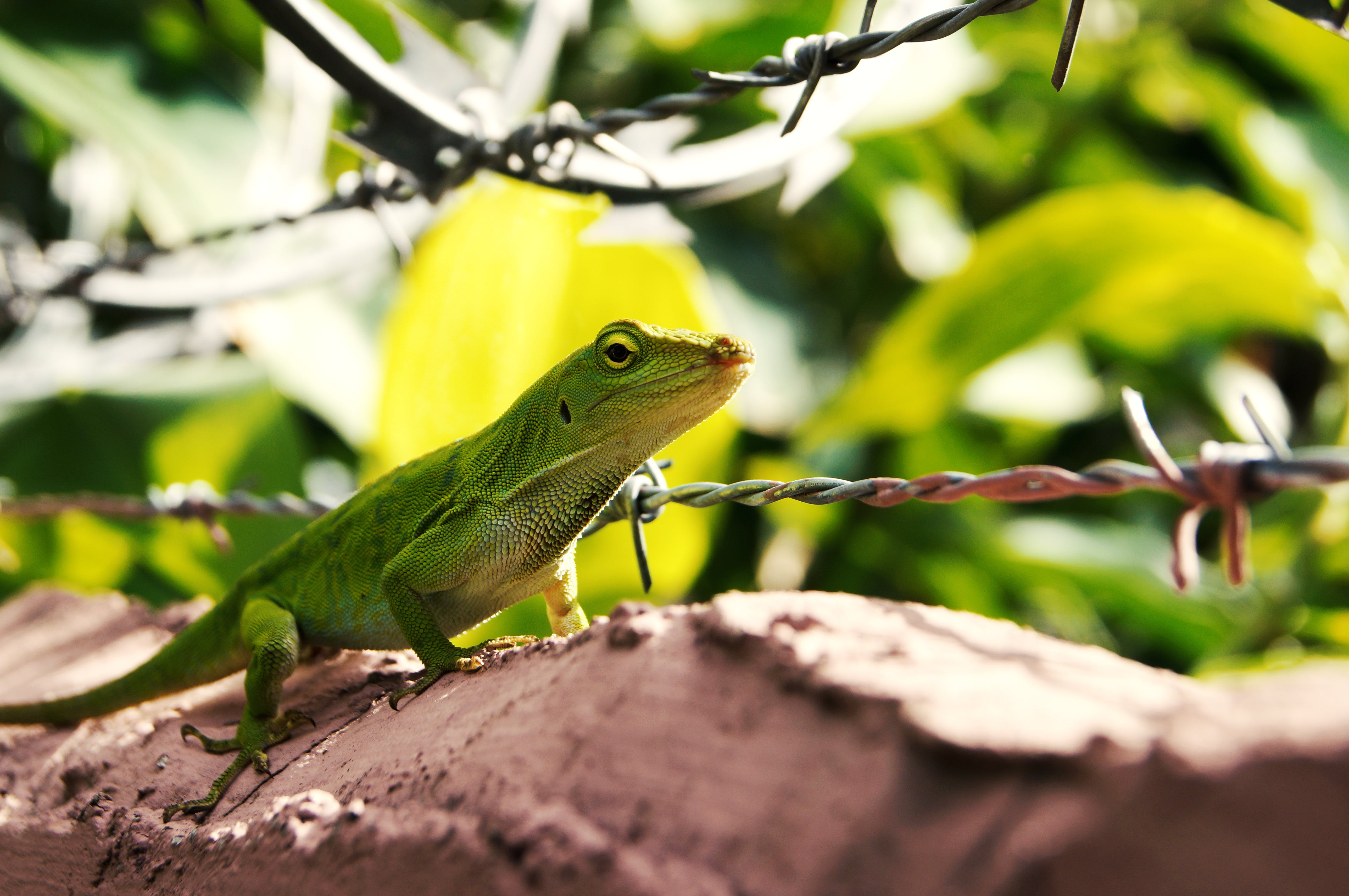 Free stock photo of barbed wire, gecko, green, reptile