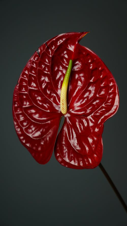 Blooming Anthurium with spathe on thin stem