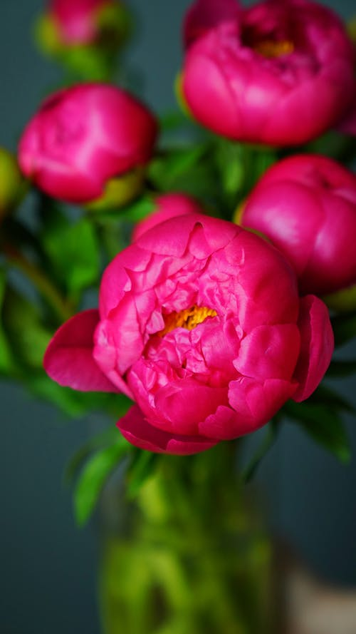 Blossoming pink flowers with delicate buds and curved petals with pleasant aroma on blurred gray background