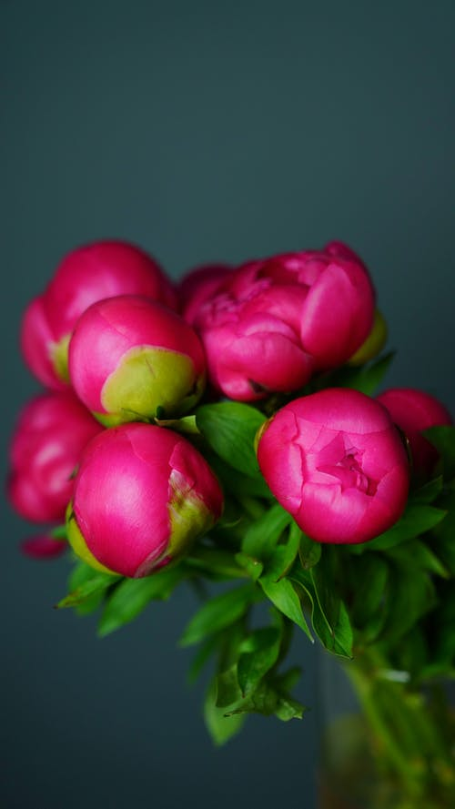 Blossoming pink flowers with delicate buds on thin stalks with curved green foliage on gray background