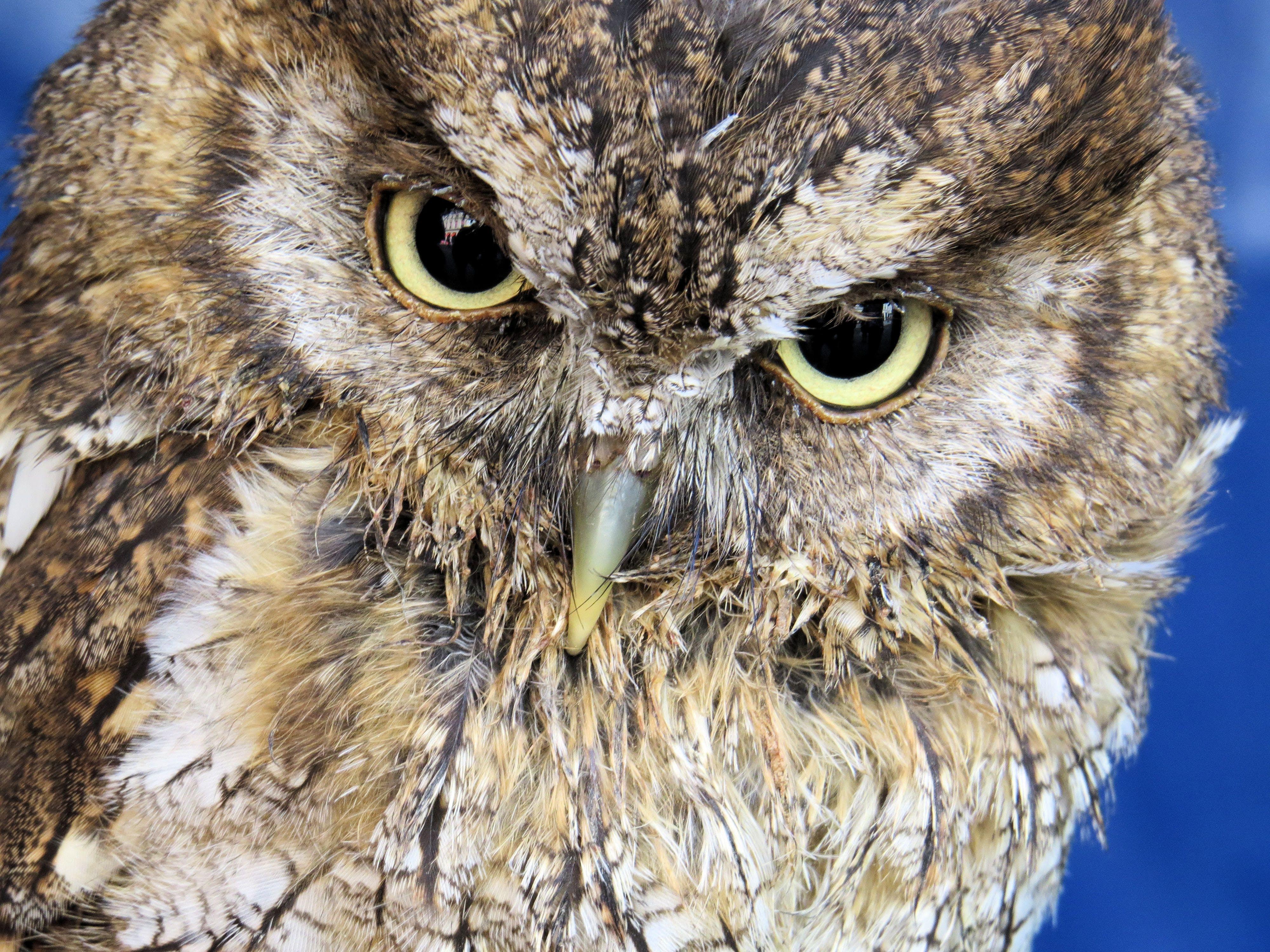คลังภาพถ่ายฟรี ของ กลางคืน, ขนนก, จ้องมอง, นกฮูก