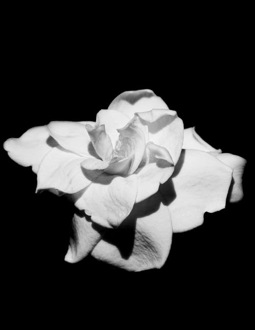 A Grayscale Photo of a Rose Flower