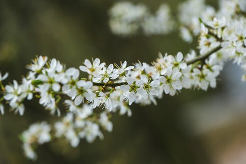 A Close-Up Shot of Blackthorn Flowrers