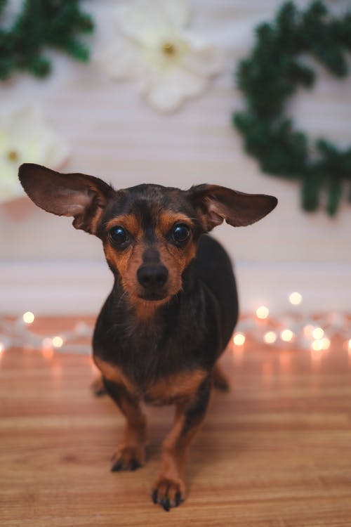 Free stock photo of christmas, dog, lights