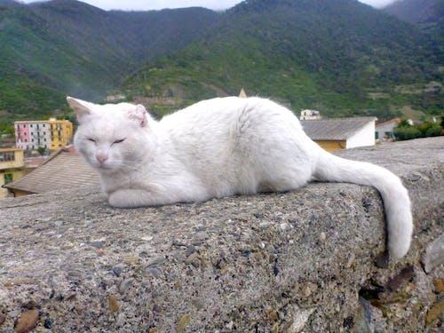 Ingyenes stockfotó fehér macska témában