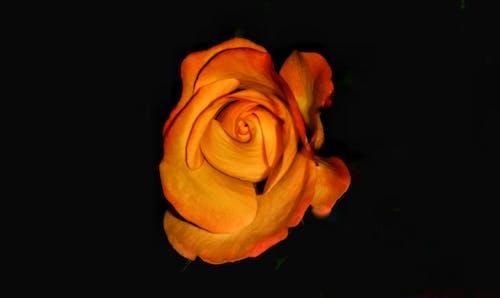 Immagine gratuita di arancia, fiori, fiori bellissimi, rosa