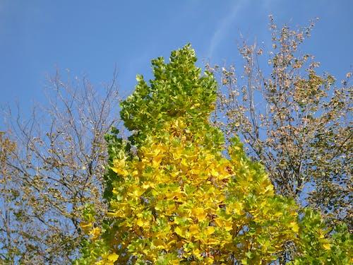 Ingyenes stockfotó ginkgo, ginkgo fa, levelek témában