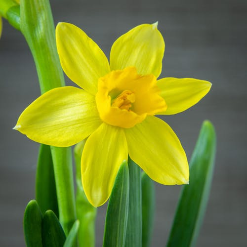 A Close-Up Shot of a Yellow Daffodil