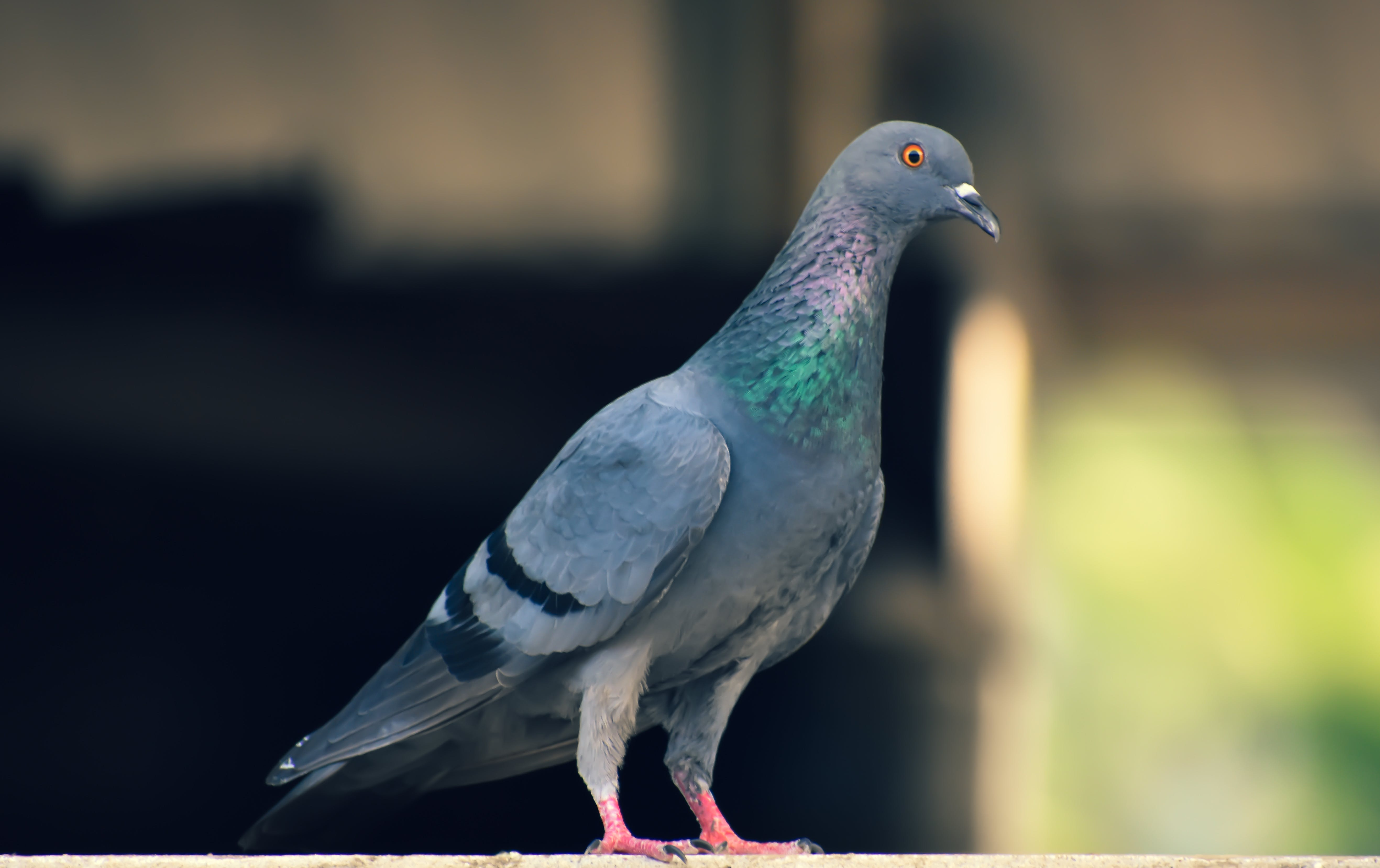 Free stock photo of closeup, perched, pigeon, searching