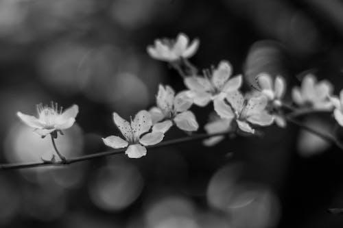 Foto profissional grátis de escala de cinza, flor de cerejeira, flora