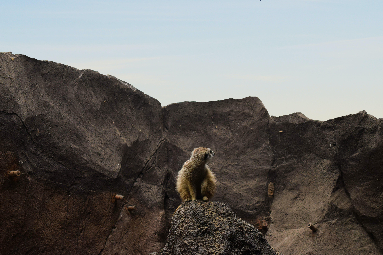 Brown Lemur on Rocky Mountain