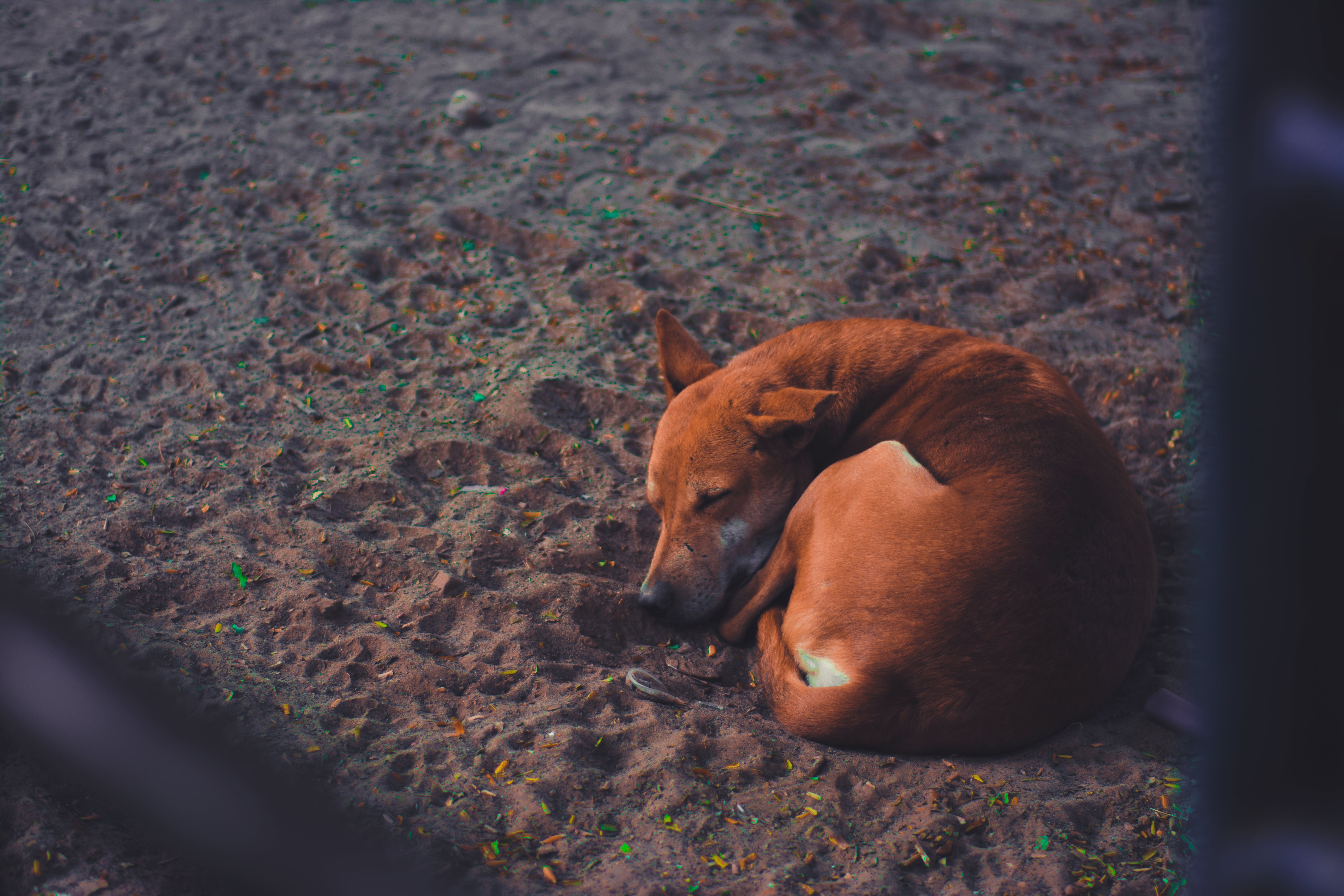 Short-coated Dog Sleeping on Soil Ground at Daytime