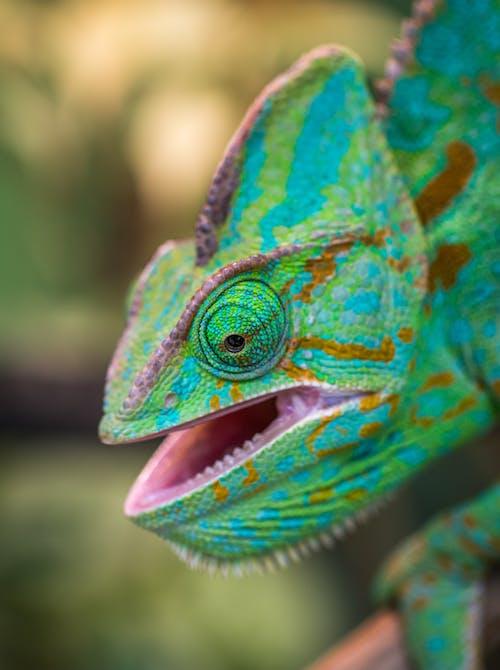 Fotobanka sbezplatnými fotkami na tému chameleón, divočina, divý, exotický