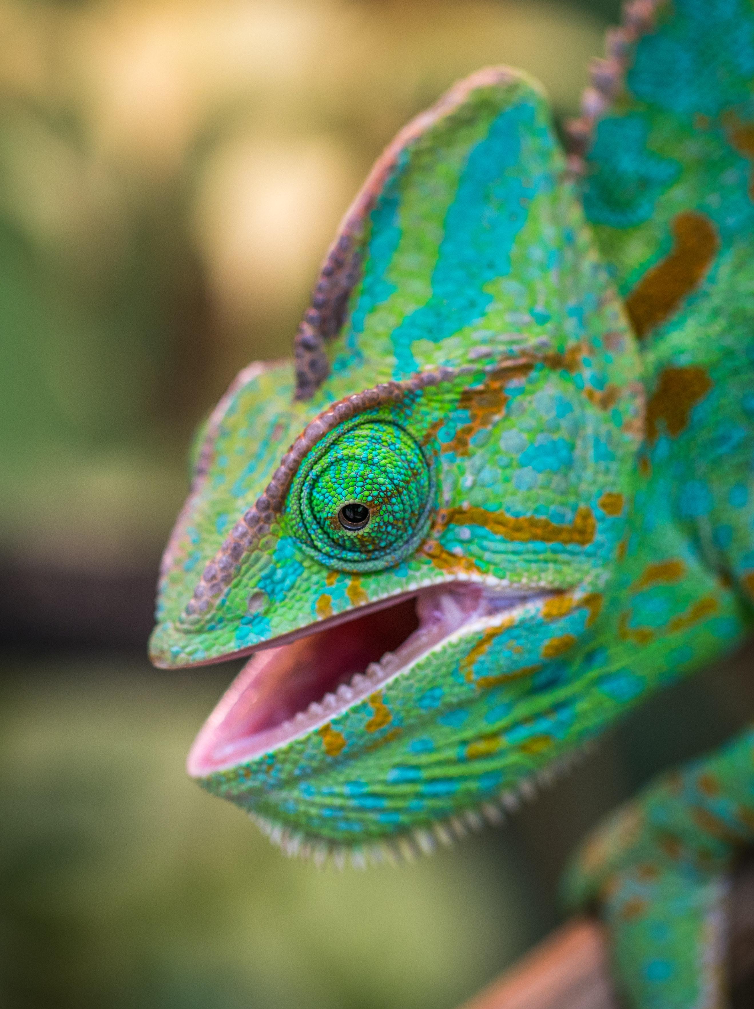Green Chameleon · Free Stock Photo