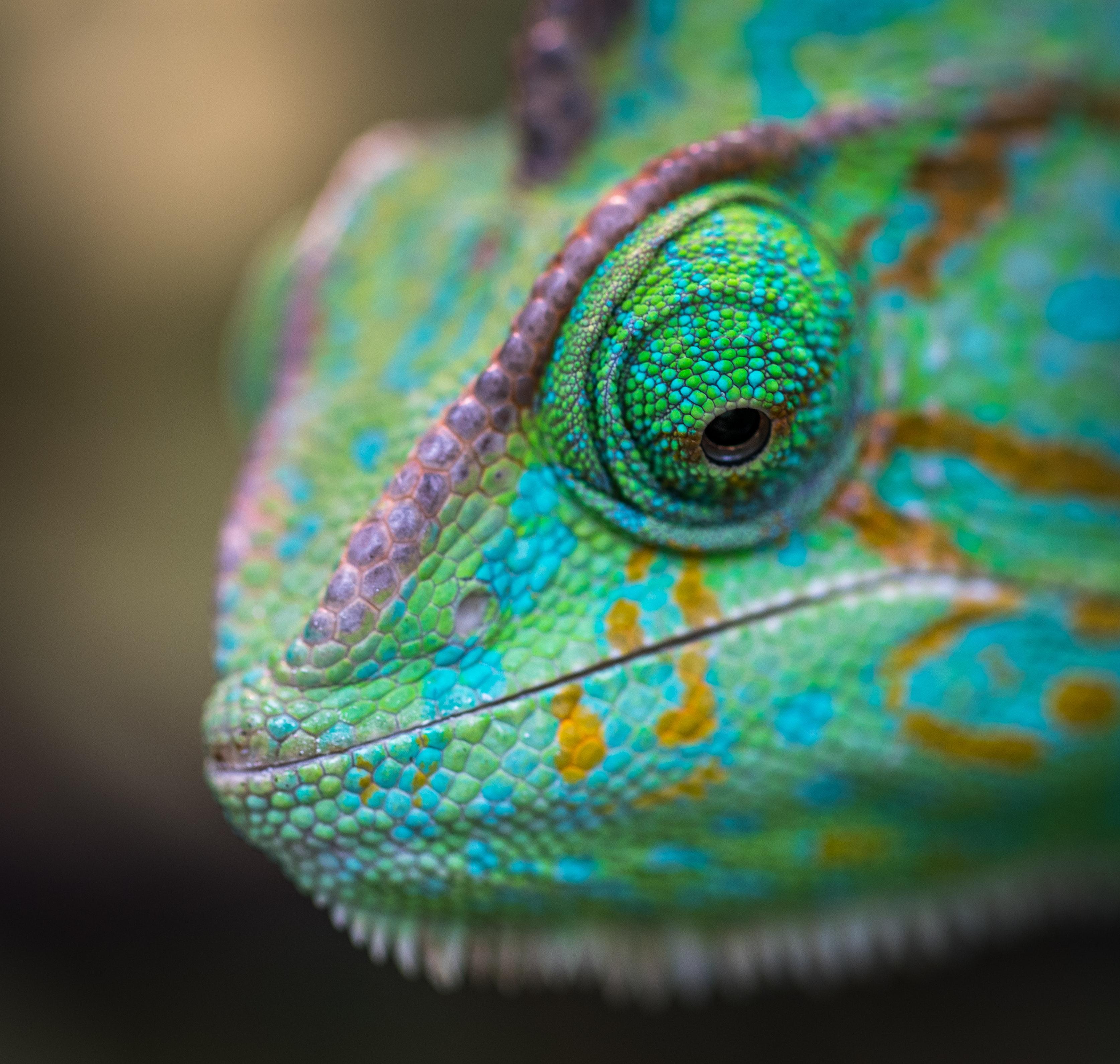 Macro Shot Photography Of Chameleon 183 Free Stock Photo