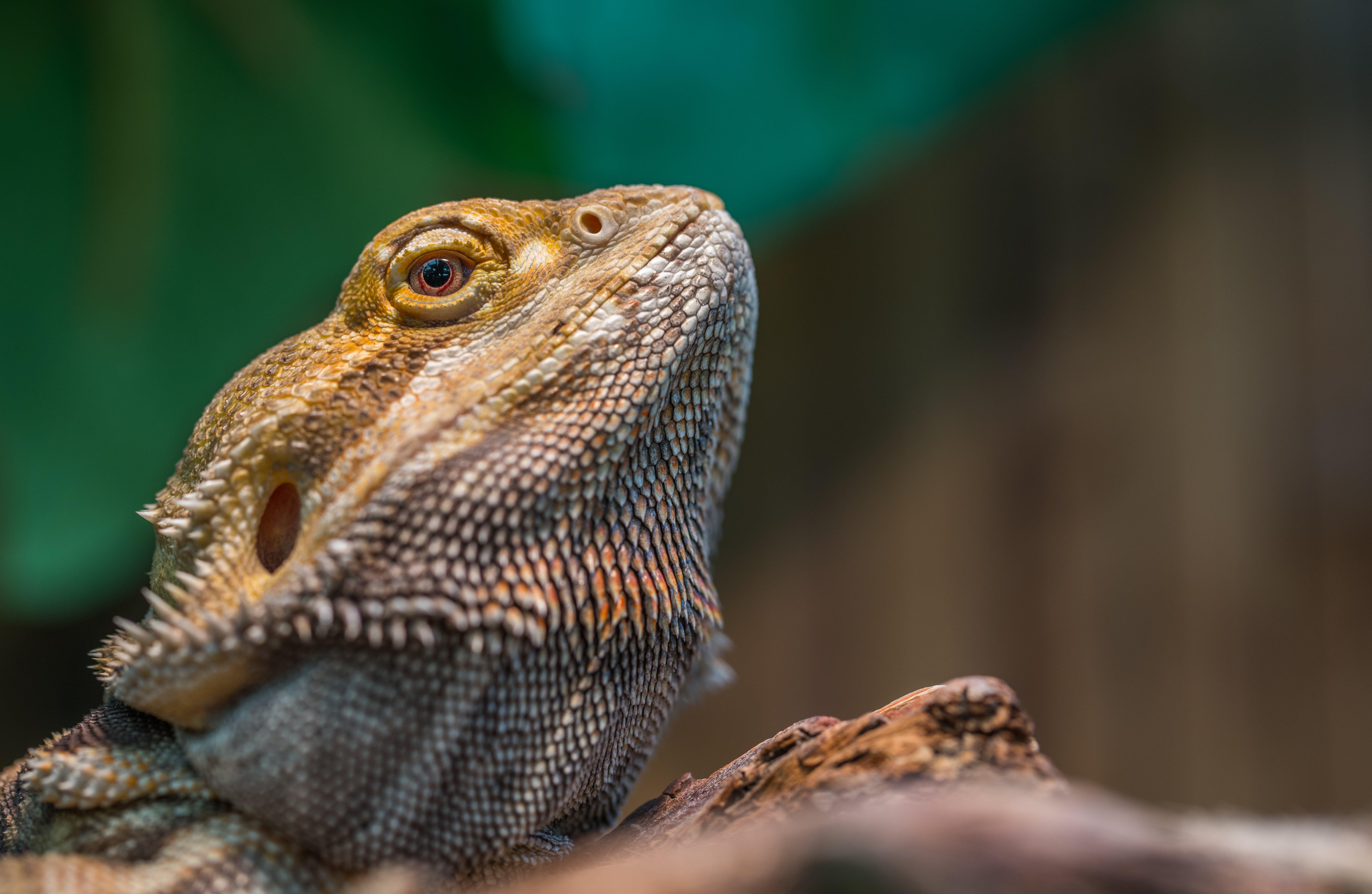 Bearded Dragon Selective Focus Photography