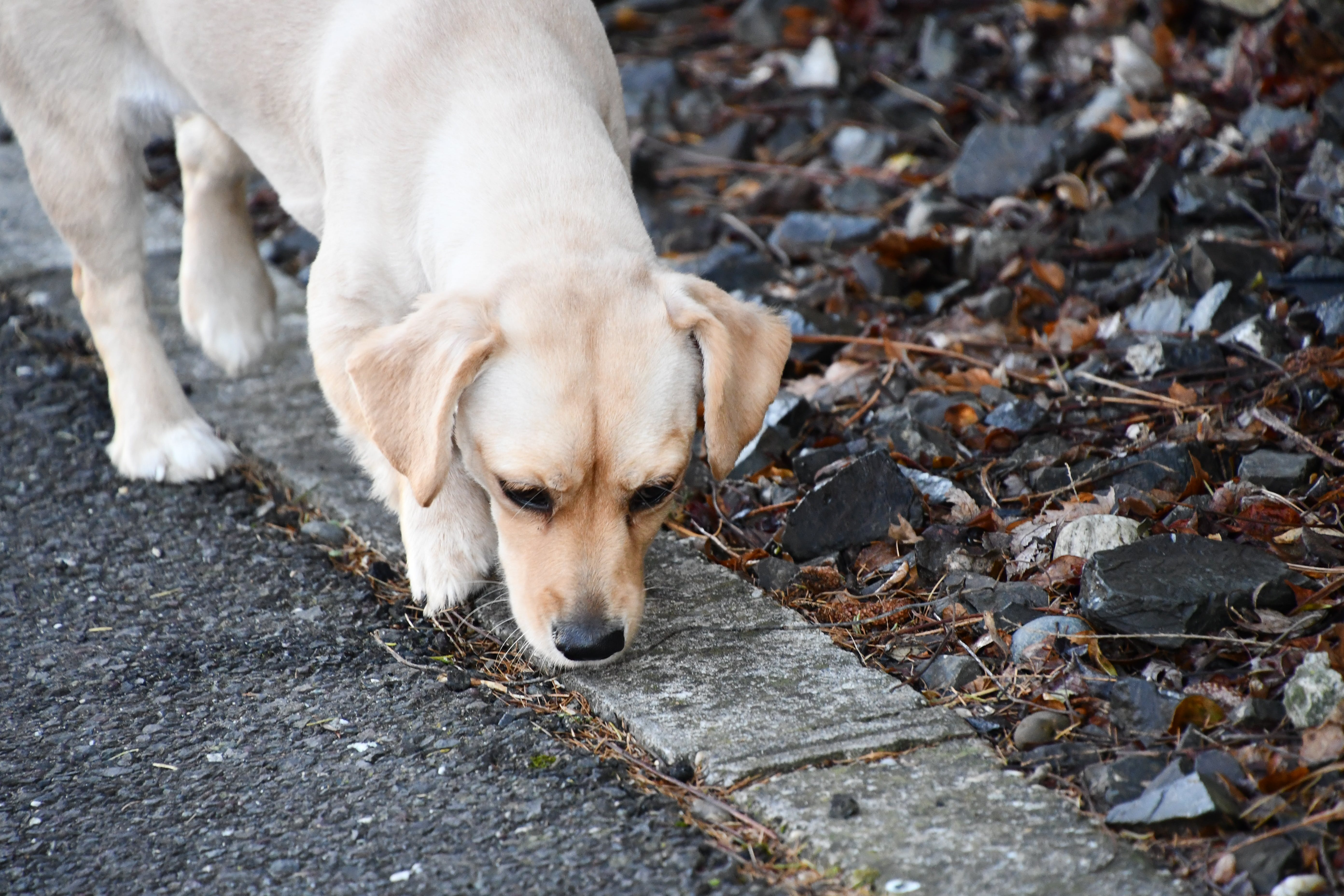 Free stock photo of dog, cute, white, sniff