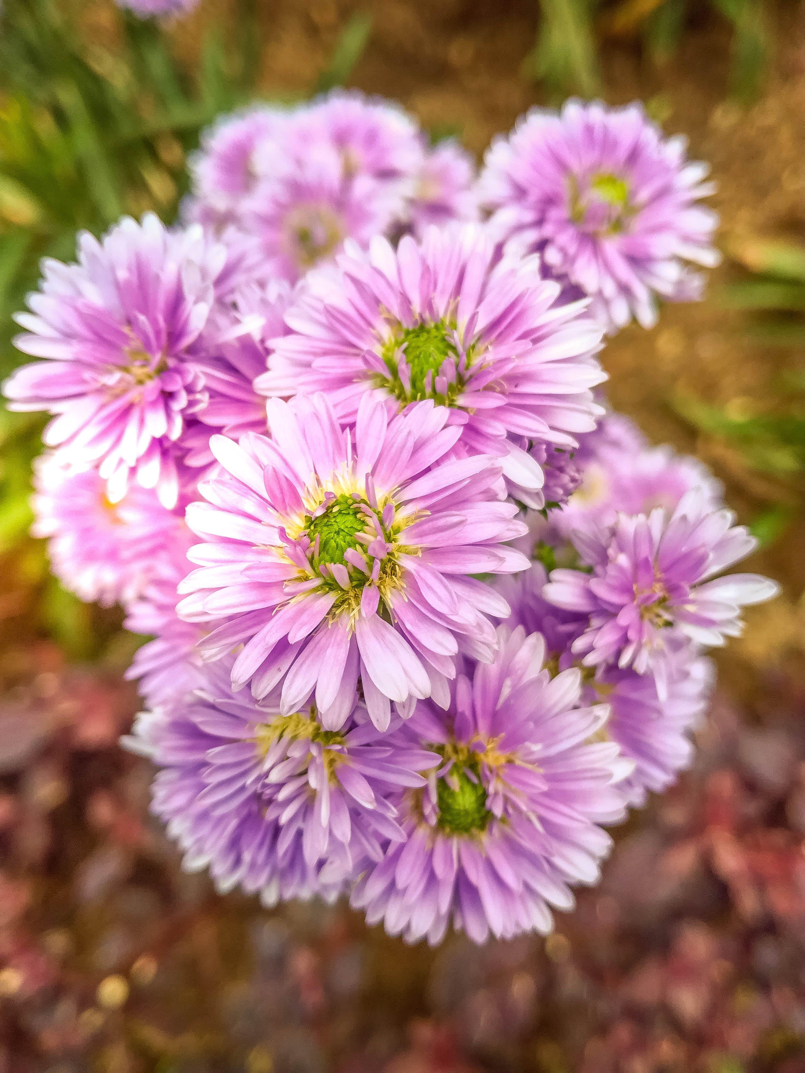 Purple Asters Closeup Photo at Daytime