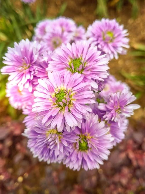 Paarse Asters Close Up Foto Overdag
