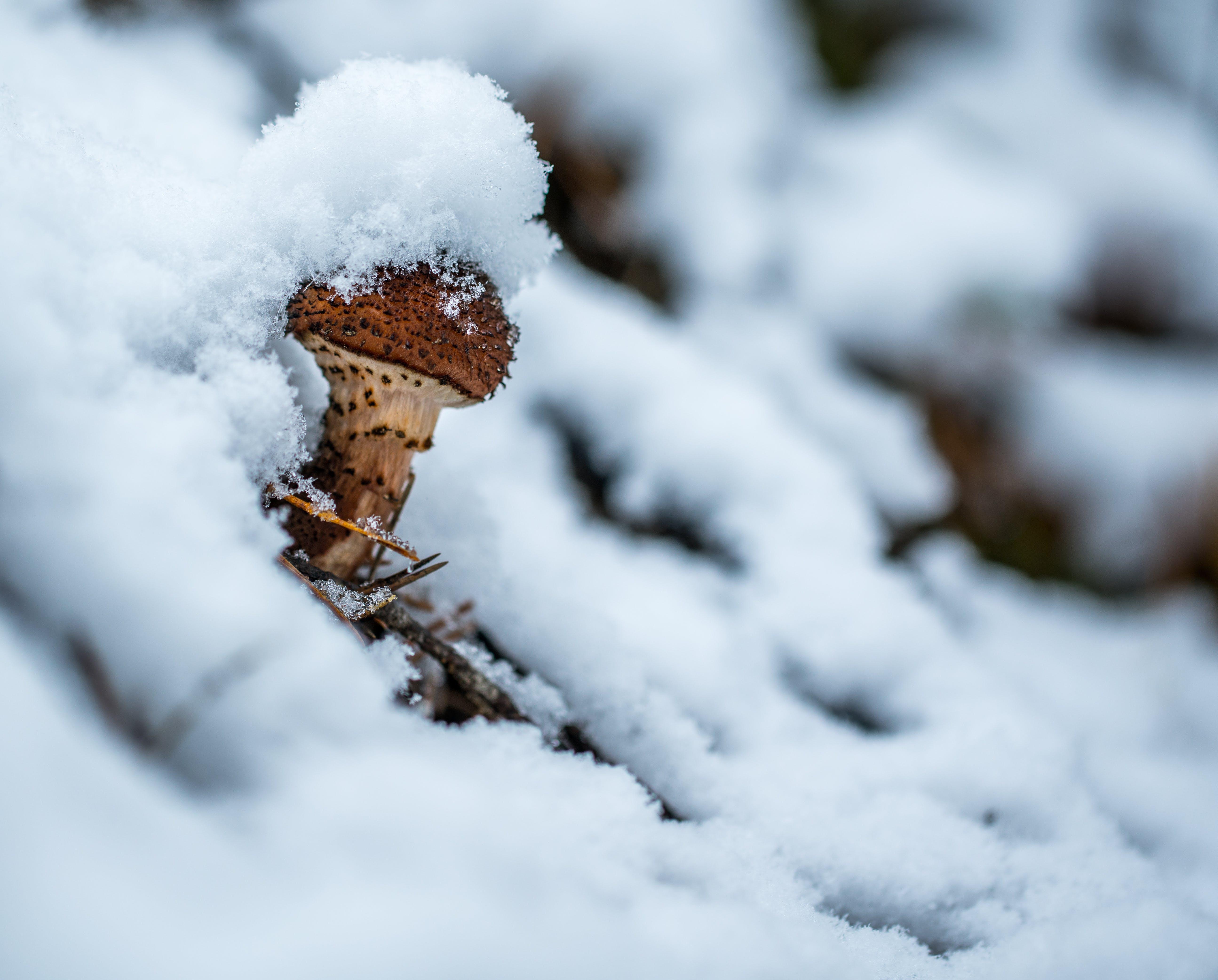 キノコ, コールド, シーズン, スノーフレークの無料の写真素材