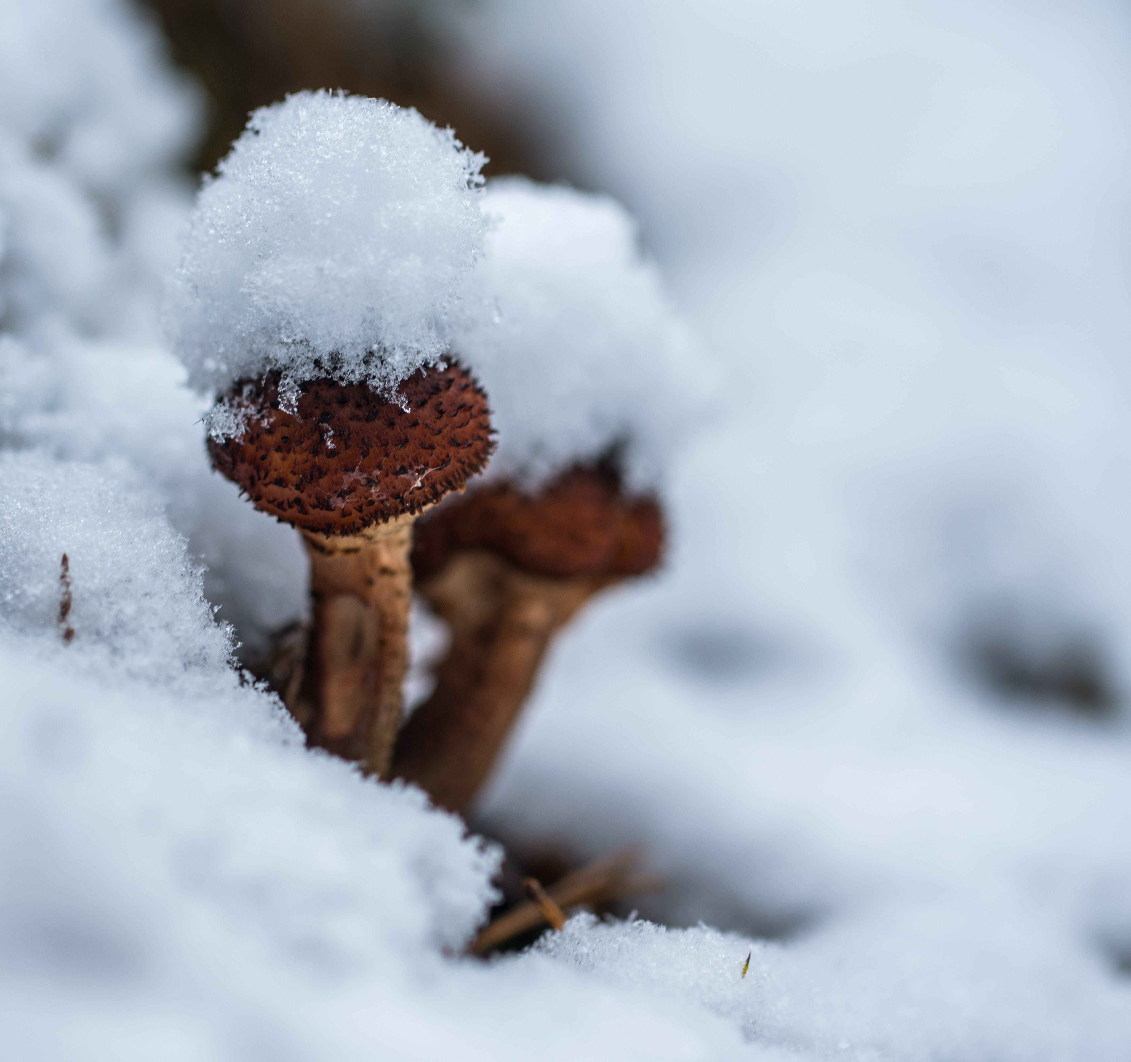 Free stock photo of snow, mushroom