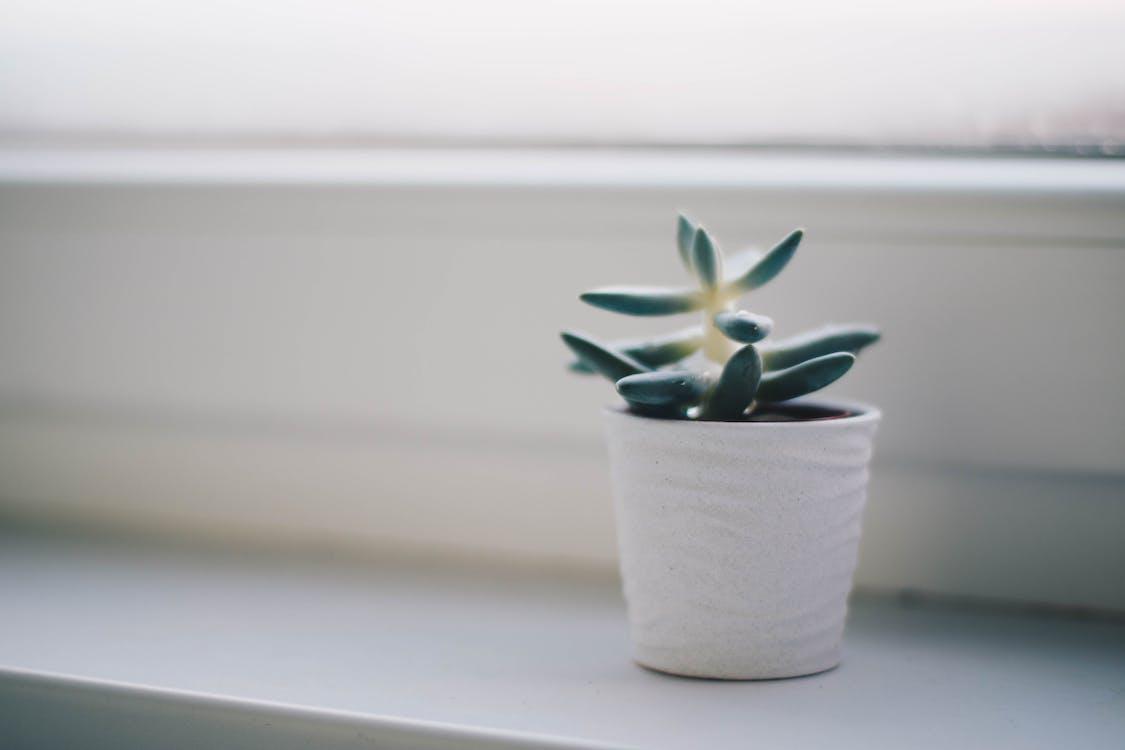 仙人掌植物, 室內, 容器