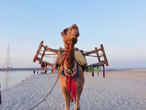 Gratis lagerfoto af dyr, ferie, kamel, kyst