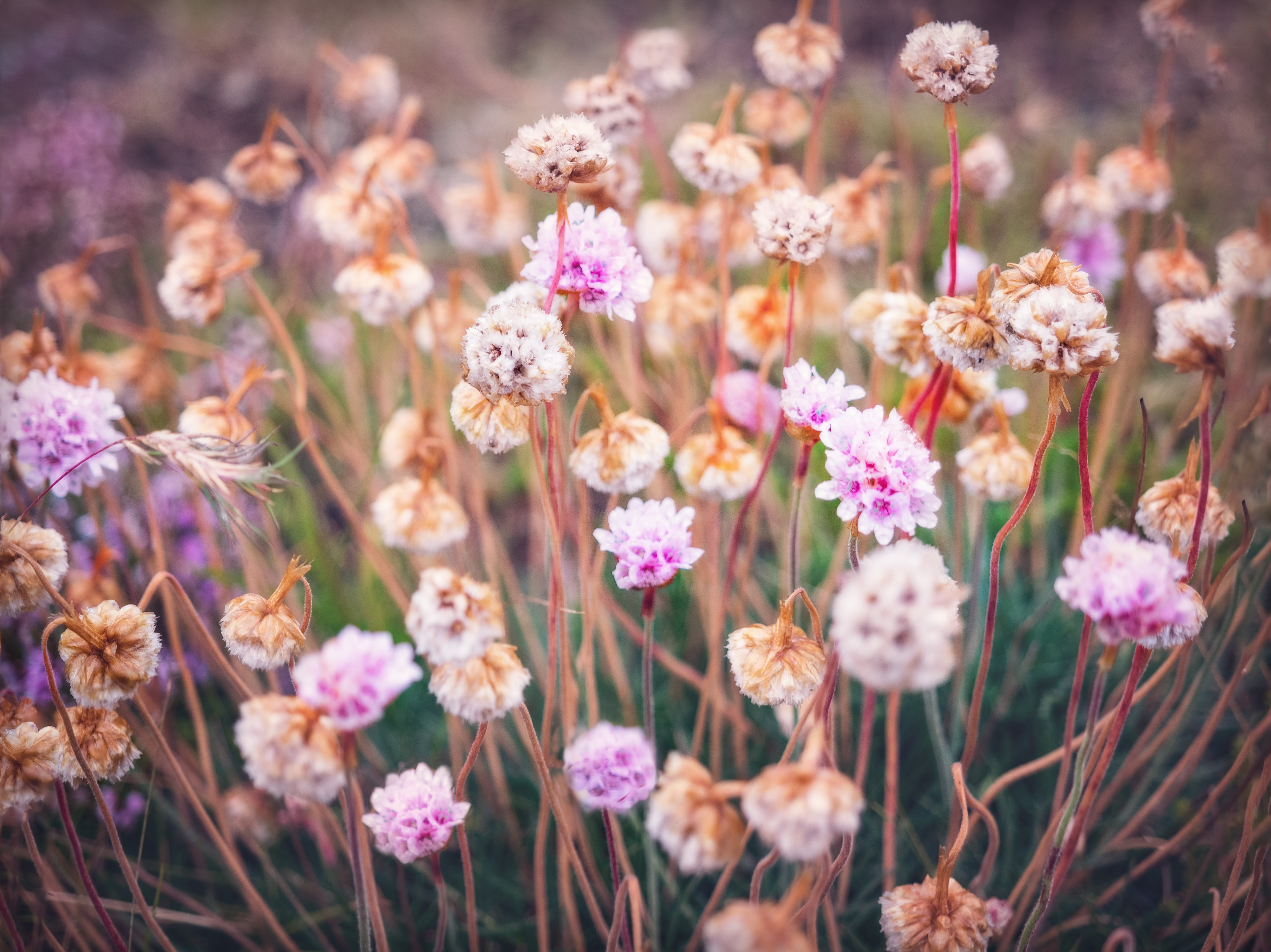 Pink Sea Thrift Flowers
