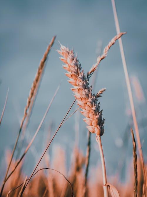 Kostenloses Stock Foto zu getreide, korn, nahansicht