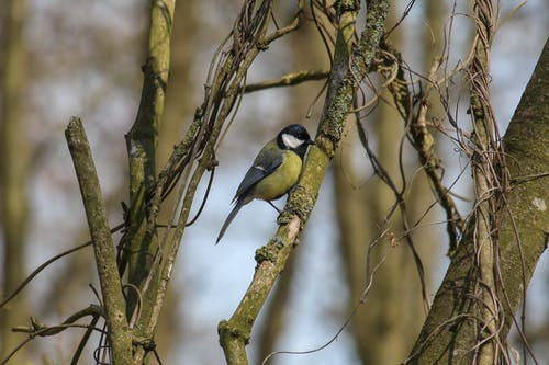 Great Tit Perched on a Tree Branch