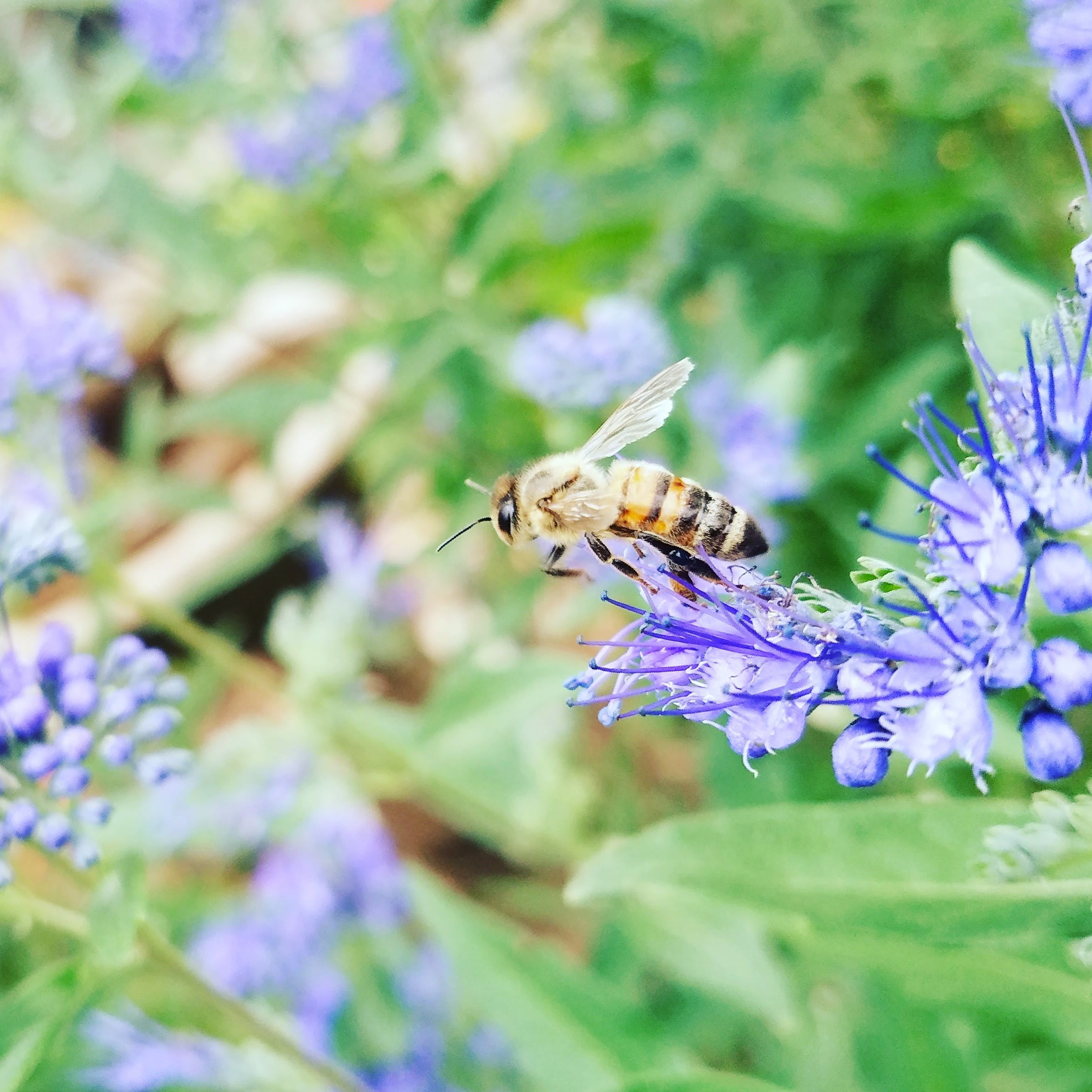 Macro Photography of Honeybee Perched on Blue Petaled Flower