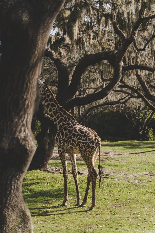 Giraffe Standing near Trees