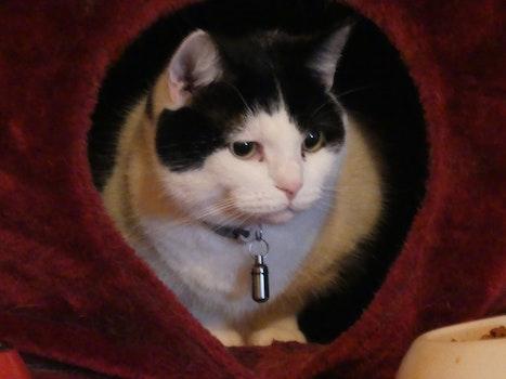 Free stock photo of animals, cat, domestic cat
