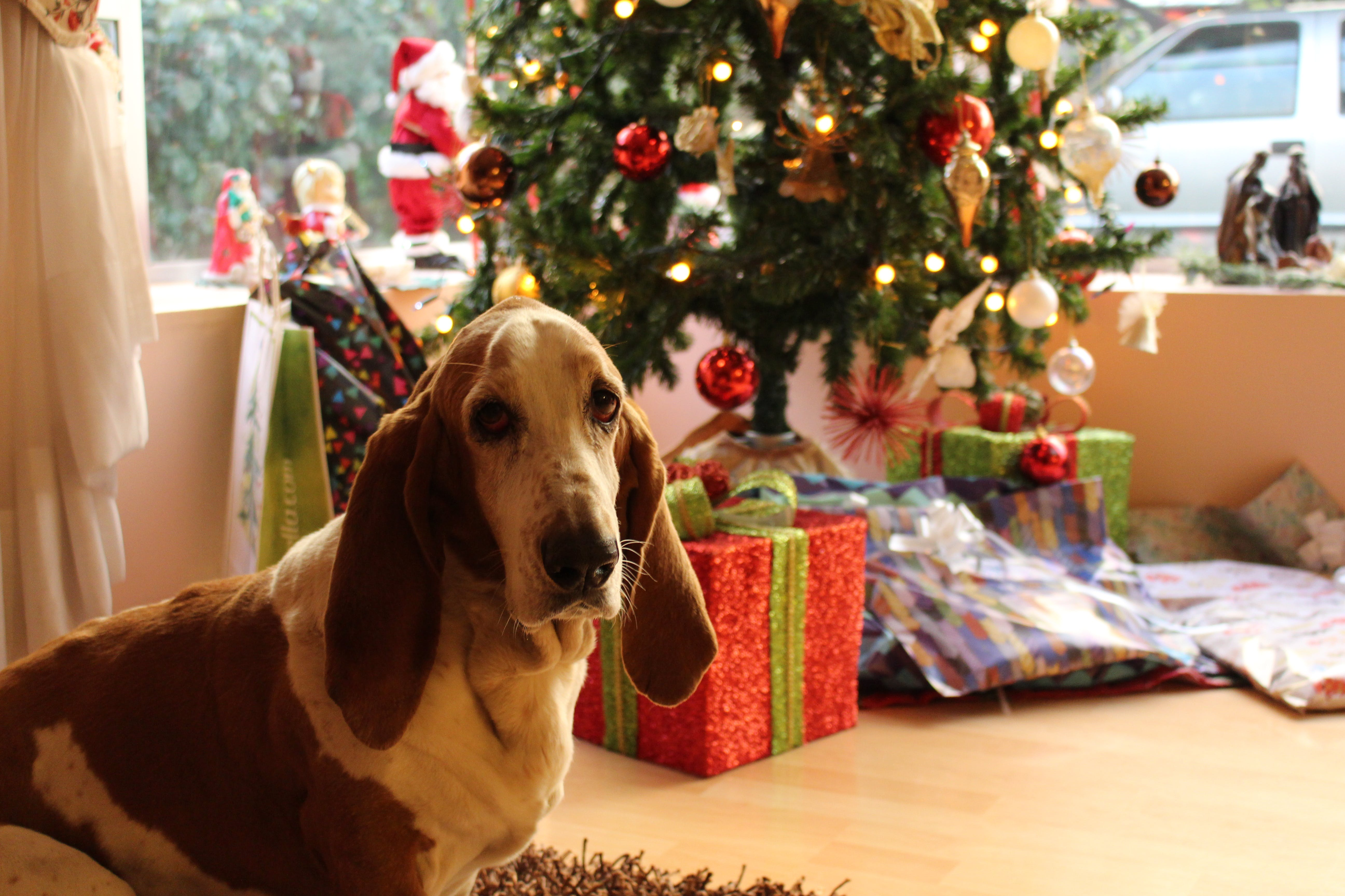 Tan and White Basset Hound Near the Christmas Tree