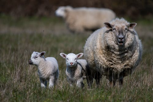 Free stock photo of baby sheep, sheep