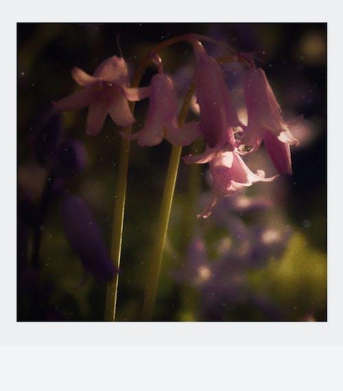 Immagine gratuita di bellissimo, campanule, colore