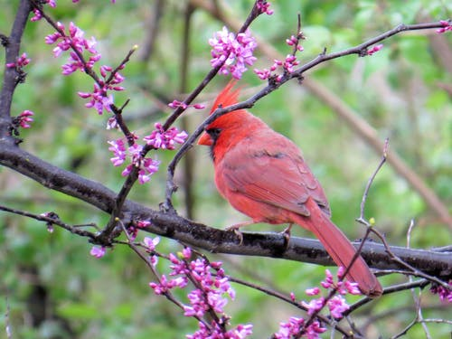 #redbud, 추기경의 무료 스톡 사진