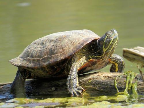 Free stock photo of sunbathing, turtle