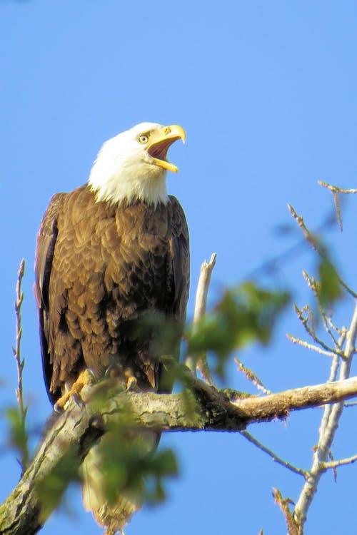 Imagine de stoc gratuită din vultur, vultur pleșuv
