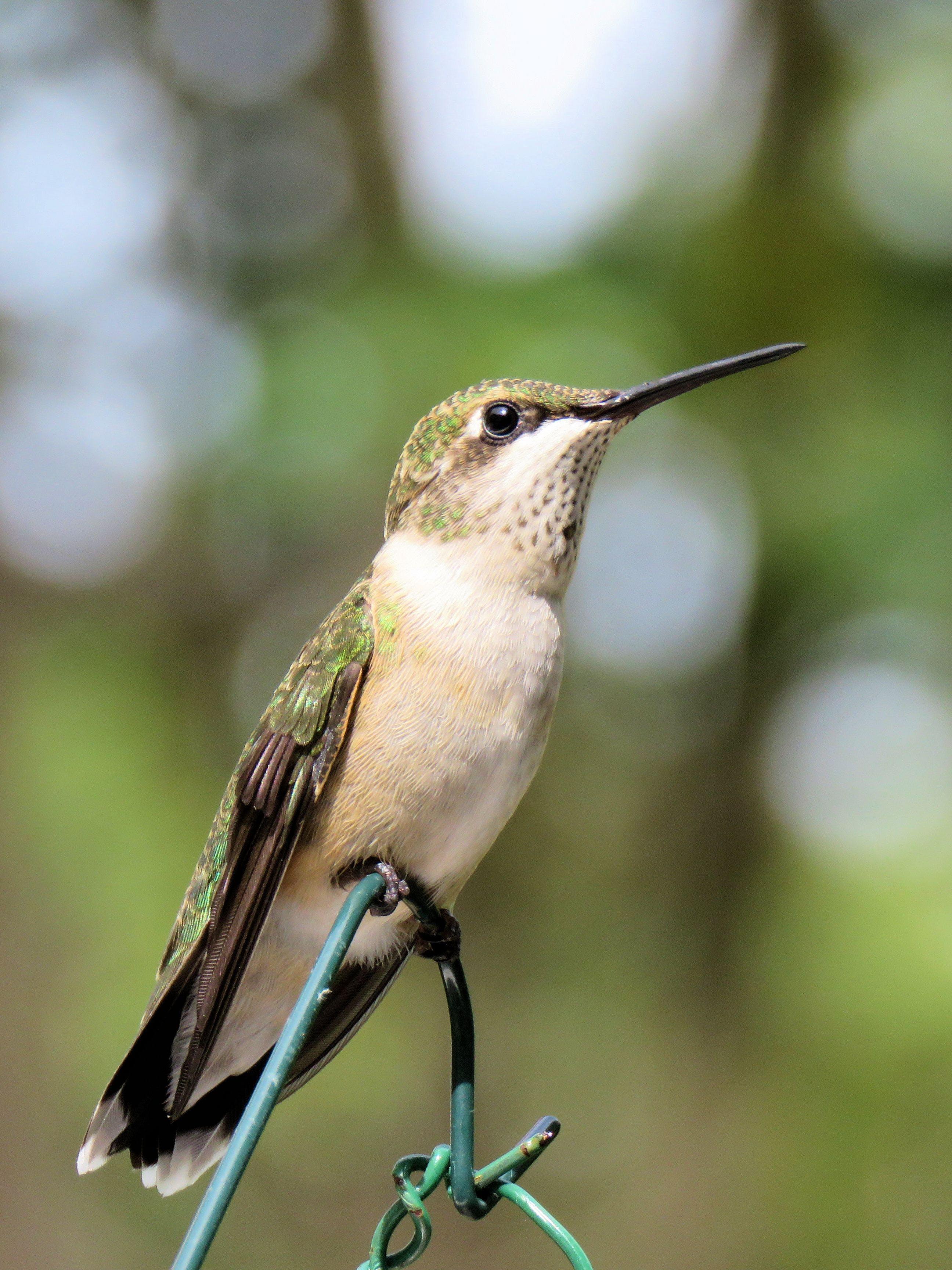 Gratis lagerfoto af kolibri