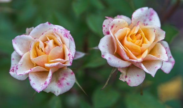 Free stock photo of flowers, rose