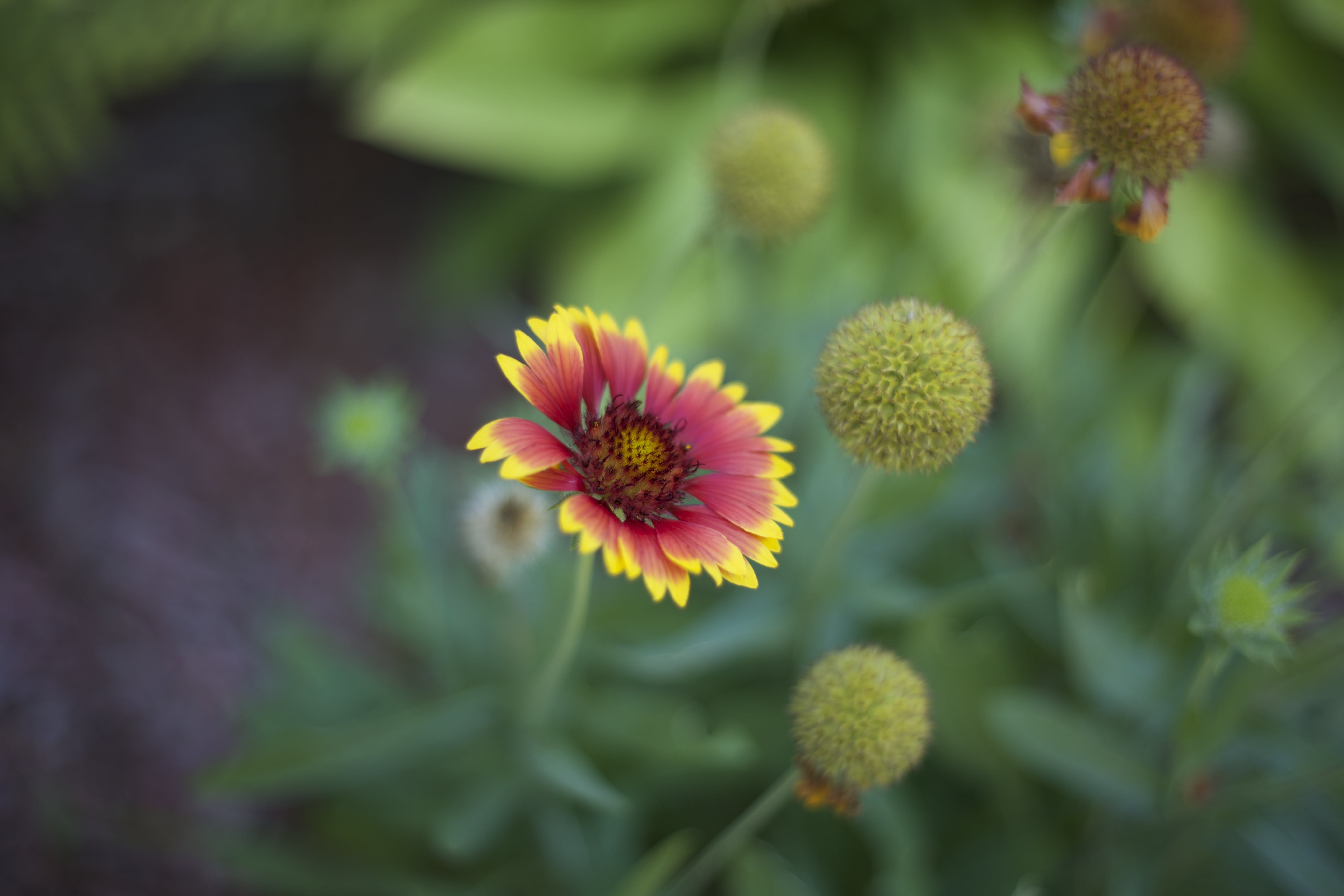 Red and Yellow Multi Petal Flower