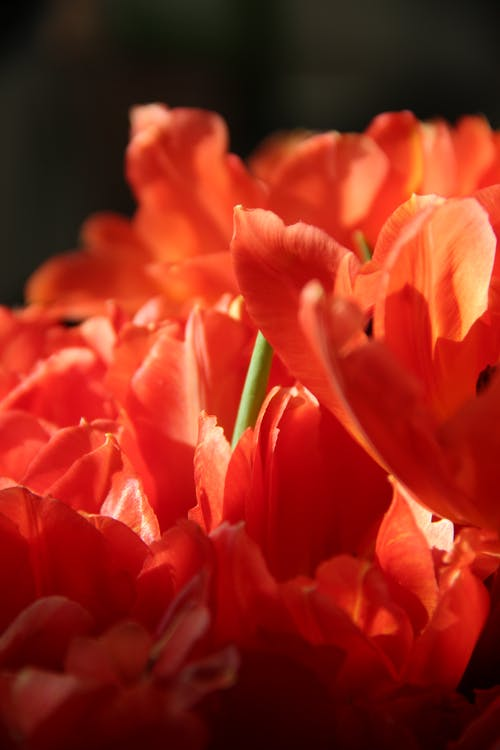 Red Tulips in Bloom Close Up Photo