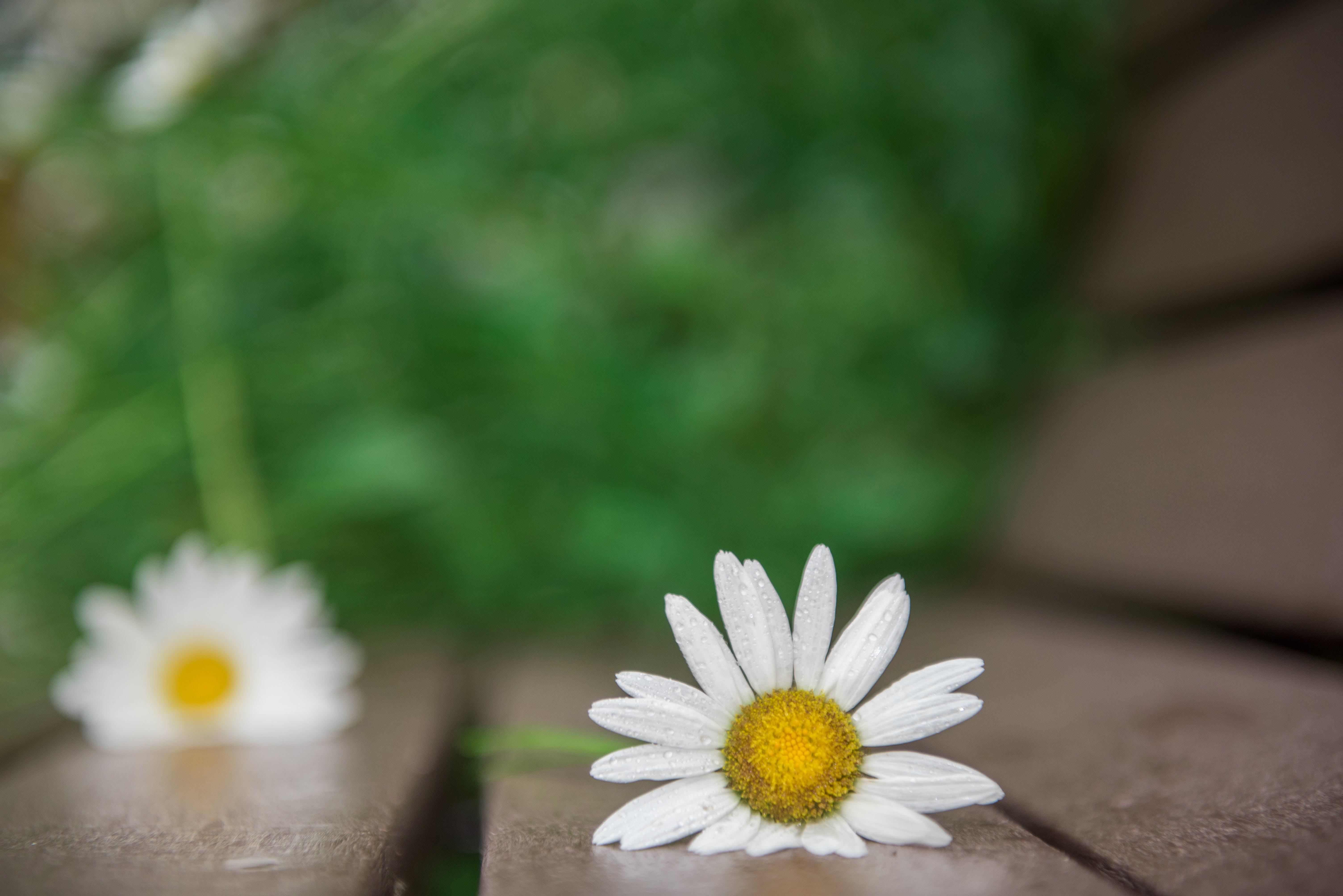 Free stock photo of daisy, flower, spring, white flower