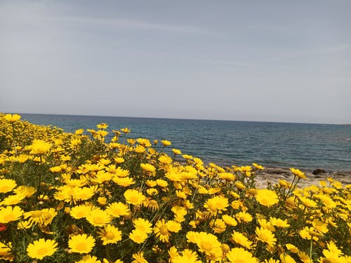 Yellow Flowers in Bloom near the Beach