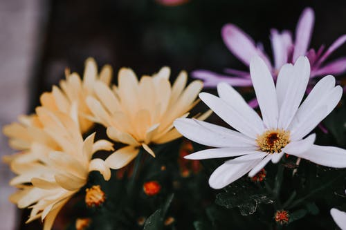 Close-Up Shot of African Daisies in Bloom