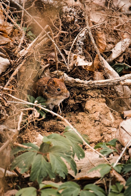 Close-Up Photo of a Tiny Brown Rat